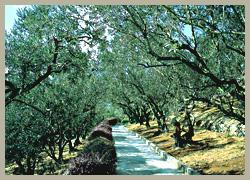 オリーブの小道