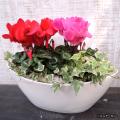 季節の花鉢販売店【花育通販】シクラメン&アイビー(ヘデラ)の寄せ植えを販売しています。