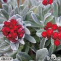 多年草宿根草販売店【花育通販】ヘリクリサムの苗