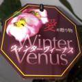 宿根草の販売店【花育通販】クリスマスローズ・ウィンターヴィーナス5号スリット鉢植えを販売