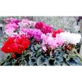 季節の花鉢販売店【花育通販】シクラメンの鉢植え(5号鉢/3鉢セット)を販売しています。