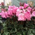 季節の花鉢の販売店【花育通販】シクラメン・ファルバラローズ
