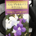 季節の花鉢の販売店【花育通販】ストレプトカルパス(ストレプトカーパス)・サクソルム