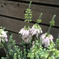 季節の花鉢の販売店【花育通販】エリカ・バウエラ(ブライダルヒースピンク)の鉢植え