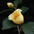 椿(つばき)の販売店【花育通販】初黄の苗を販売