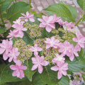 庭木花木の販売店【花育通販】加茂交配・紫陽花(アジサイ)苗木 ダンスパーティーを販売しております。