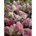 ピラミッドアジサイ「バニラストロベリー」の苗木を販売【花育通販】