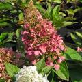 ピラミッドアジサイ「ピンキーウィンキー」の苗木を販売【花育通販】