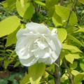 バイカウツギ「イエローヒル」の苗木を販売【花育通販】