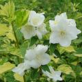 バイカウツギ「イノセンス」の苗木を販売【花育通販】