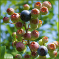 ブルーベリーの苗木を販売