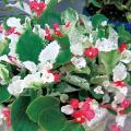ベゴニア・ルルカレッドの苗【花育通販】宿根草多年草の販売店