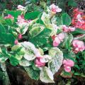 ベゴニア・ルルカピンクの苗【花育通販】宿根草多年草の販売店