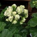 ゼラニウム「グリーンブーケ」の苗を販売【花育通販】