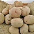 ジャガイモの種芋を販売【花育通販】