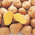 種芋(タネイモ)の販売店【花育通販】「インカのめざめの種いも」を販売
