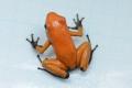 Phyllobates terribillis ��orange blak foot��