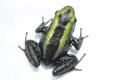 """【2匹まとめてのご購入で5万円!】【国内CB】Phyllobates aurotaenia""""Green stripe"""""""