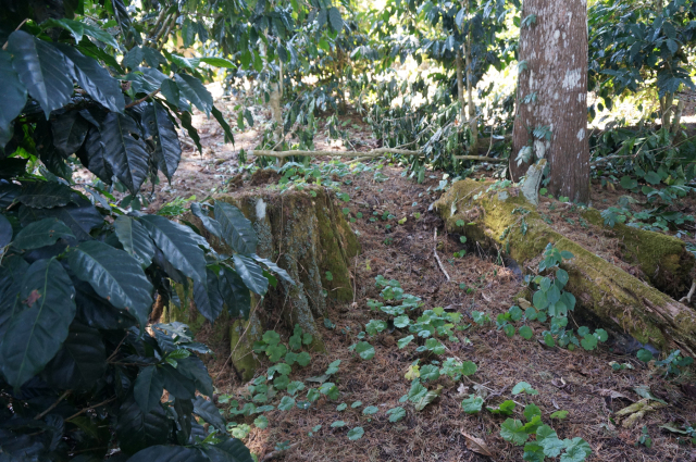 土壌は杉の落ち葉でフカフカ