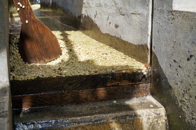 収穫期は水洗処理場での仕事はサラティエルさんが夜明け前から一人で行います。