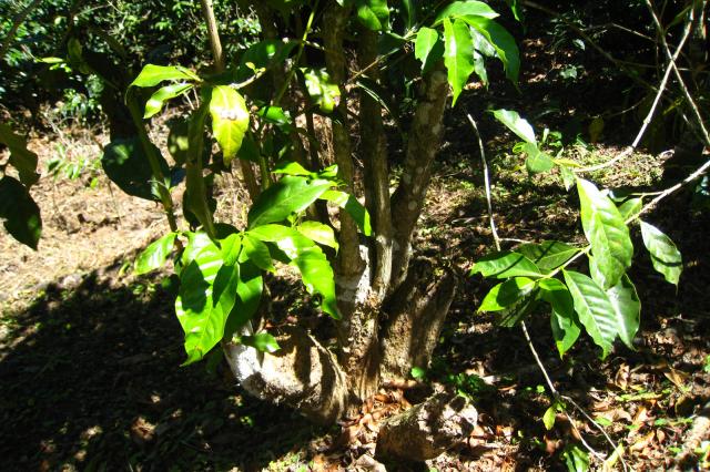 樹齢70年以上のブルボン種の古木