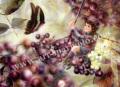 横田美晴の版画「E-Elderberry」