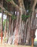 バンヤンツリー