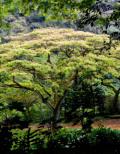 モンキーポッドツリー