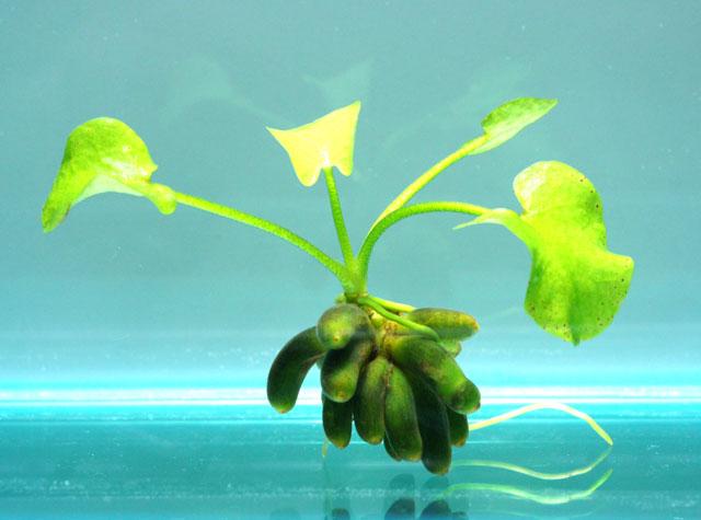 バナナプラント 〜小さなグラスアクアリウムにぴったり!〜