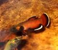 ベタ アルビマルギナータ(マリナウ産)【♂♀ペア】〜白い縁取りが目をひく小型種♪〜