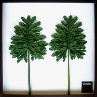 Philodendron bipinnatifidum アートフレーム JIG IFF10929