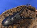 フローレス産 ギラファノコギリクワガタ幼虫5頭セット