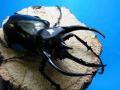 コーカサスオオカブト初二令幼虫10頭セット+今ならカブトマット5L1袋付。