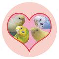 【Bird Island Cafe】缶バッジ/セキセイ・多品種◆クロネコDM便可能
