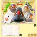 【だが屋】ポストカード/キンカチョウ18・Lucky!◆クロネコDM便可能