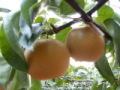 豊水梨約4.5kg 【発送期間】8月下旬〜9月中旬ごろ