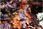 原木なめこ[生]収穫期2012-11