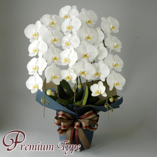 大輪系胡蝶蘭 3本立ち 白 プレミアムタイプ