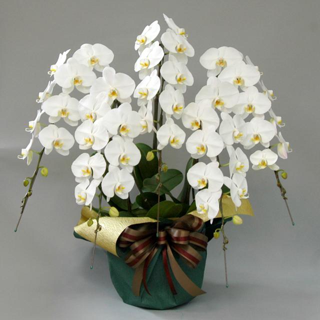 【きょう着・あす着】 胡蝶蘭 5本立ち 白