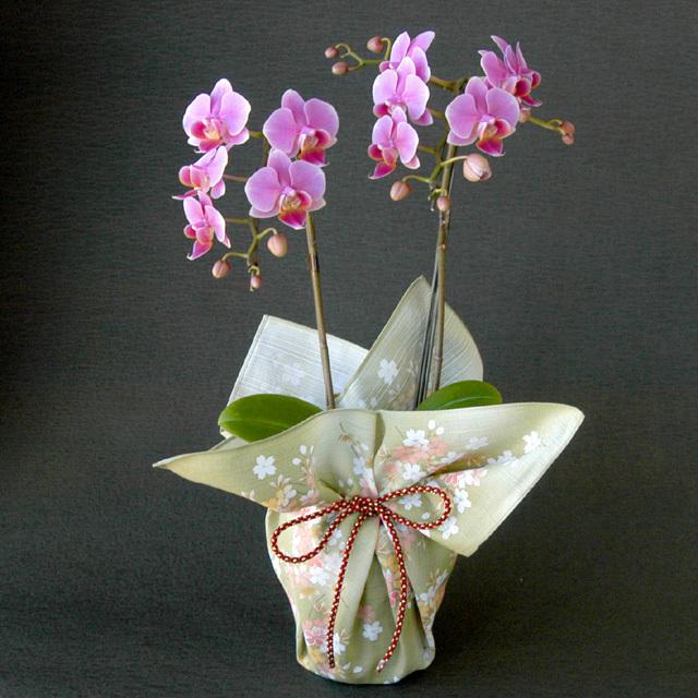 特選 胡蝶蘭 2本立ち ピンク 宇野千代「舞桜」