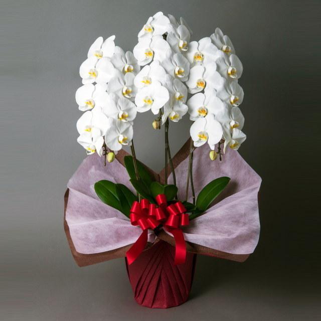 【きょう着・あす着】 胡蝶蘭 3本立ち 白
