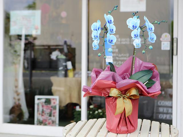 青い胡蝶蘭ミディ2本立