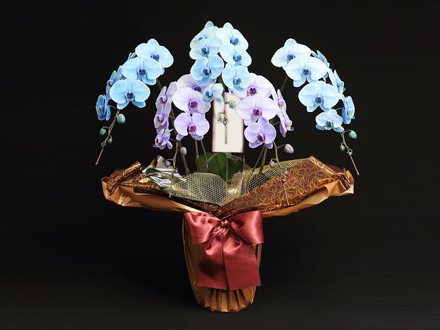 青と紫の胡蝶蘭(極上エレガンス)[5本立ち]【送料無料】|誕生日のお祝いなどの贈り物におすすめの珍しいフラワーギフト