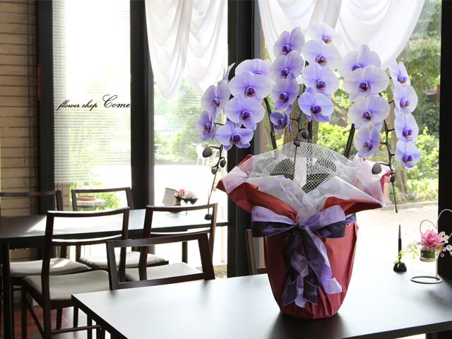 紫の胡蝶蘭~パープルエレガンス~イメージ