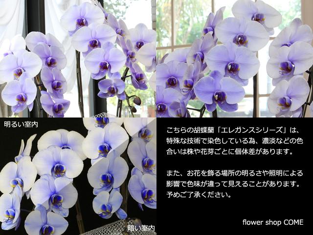 紫の胡蝶蘭(パープルエレガンス)3本立~ラッピングサンプル