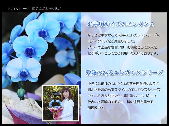 リング型青いミディ胡蝶蘭2本立