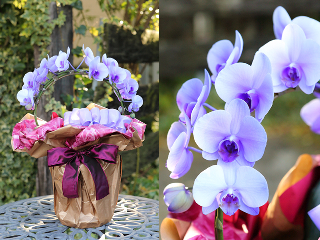 リング型紫のミディ胡蝶蘭(パープルエレガンス)[2本立ち]【送料無料】|誕生日・記念日・お祝いなどの贈り物におすすめの珍しいフラワーギフト