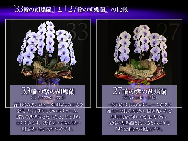 33輪の胡蝶蘭プレミアムパープルエレガンス3本立