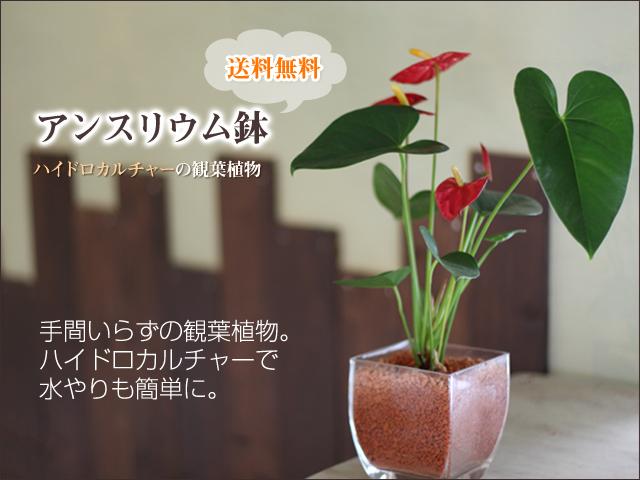 アンスリウム鉢(ハイドロカルチャーの観葉植物)
