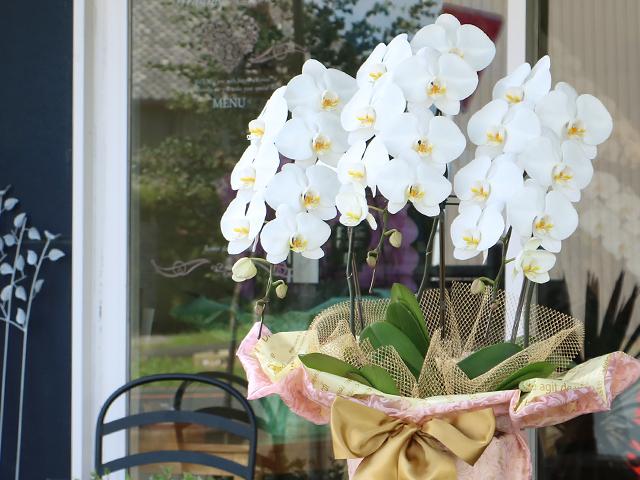 白の胡蝶蘭